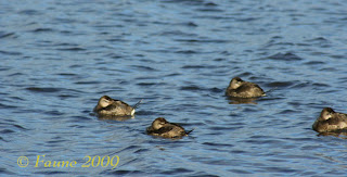 ducks Currituck Sound