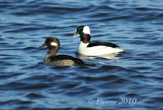 Bufflehead ducks Currituck Sound