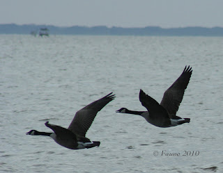 Canada Geese Currituck Sound