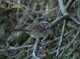 Song Sparrow Currituck