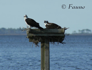 Osprey Pair Currituck Sound