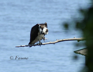 Osprey Currituck Sound