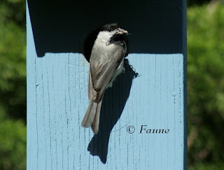 Chickadee feeding at box