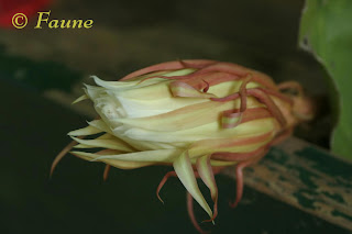 Night Blooming Cereus bud
