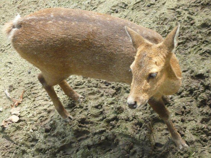 Kancil Animal