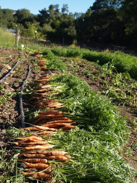 300 lbs of Carrots for July! 2010