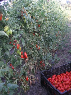 Juliet Roma Tomatoes - Early September