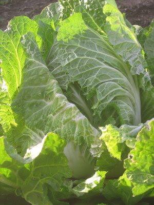Napa Cabbage and Long January Shadows