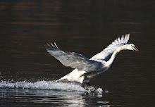 Nas asas do cisne