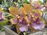 Odontoglossum Wyattianum