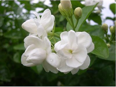 Bunga melur hanya berwarna putih tidak seperti bunga-bunga lain yang