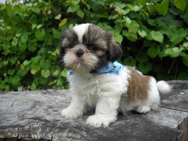 The Search For The Perfect Puppy Gracie Lu Shih Tzu