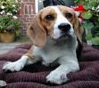 un beagle