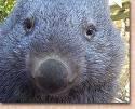 woolie wombat