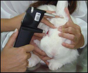 examinando coelho
