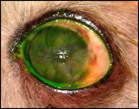 cegueira causada por ceratoconjuntivite