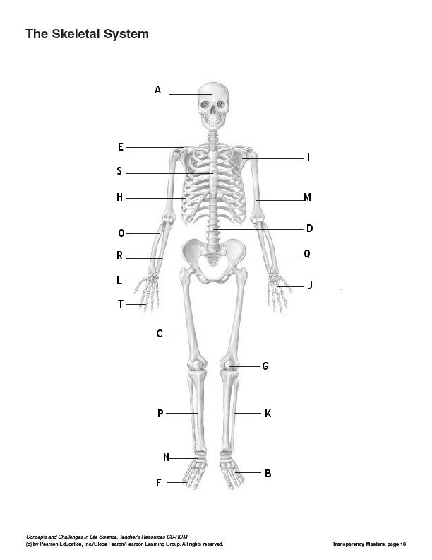 human skeletal system without labels