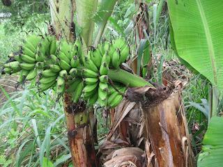 Aku dah lama tak masuk ke kebun pisang ku...tapi baru-baru ini aku