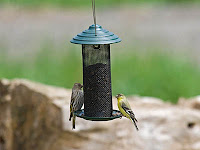Pine Siskin and Lesser Goldfinch