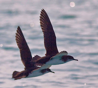 Manx Shearwater. Photo by Nick Hatch. Icy Bay, Alaska. August 4, 2009.