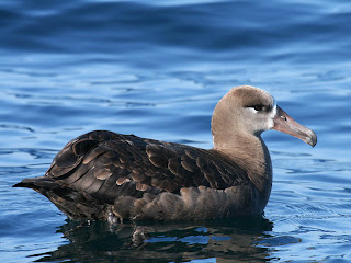 Black-footed Albatross, Charleston, Oregon, 1 September 2007 by Greg Gillson