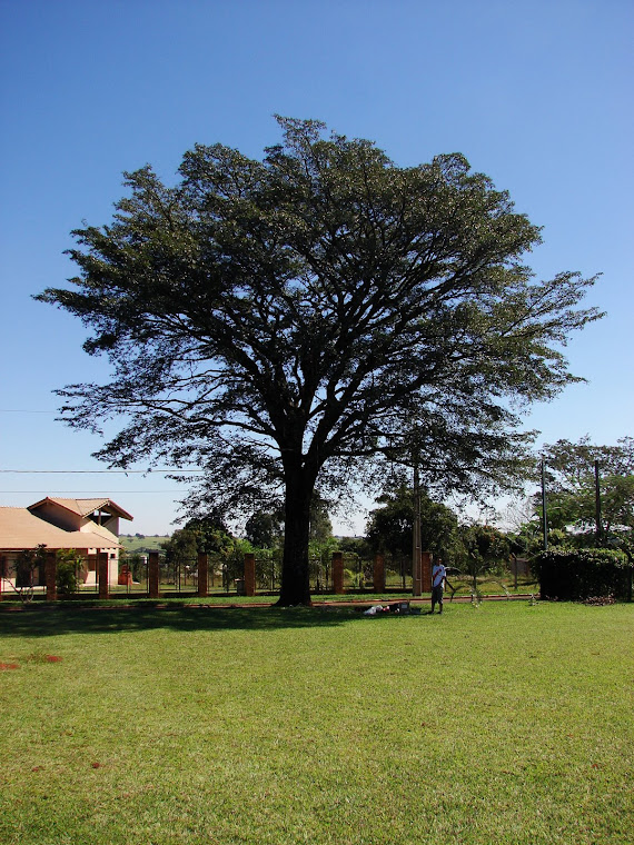 "Árvore ""Pau D'óleo"" - Copaifera langsdorffii Desf. (Caesalpinaceae)"
