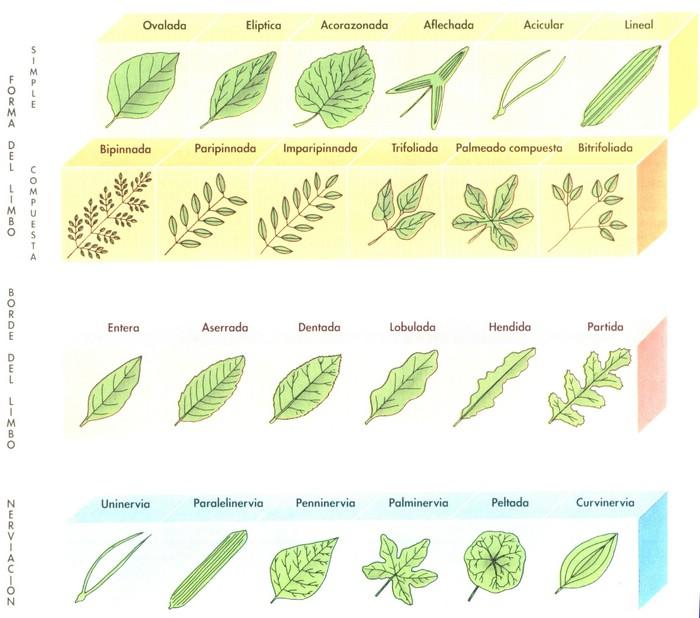 Nombre de hojas de arboles y plantas - Imagui