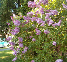 Lilacs From My Front Porch