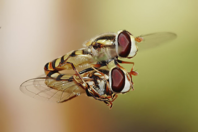 Hoverfly mating picture