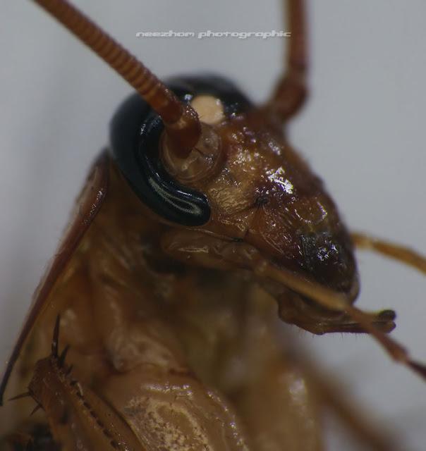 macro house cockroach