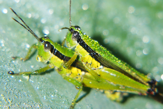grasshopper mating picture