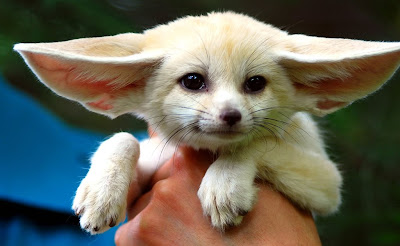 Cute Fennec fox photo