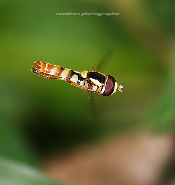 Hoverfly is hovering