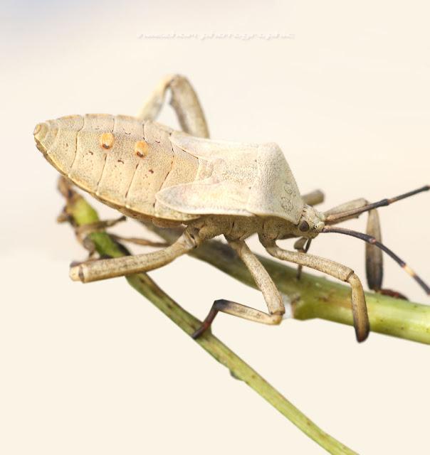 Beige white colour Shield bug