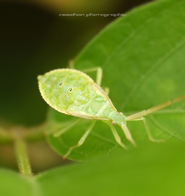 Light green Shield bug