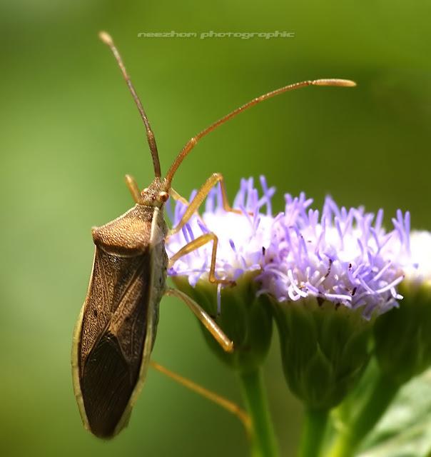 Shield bug on a purple Dandelion