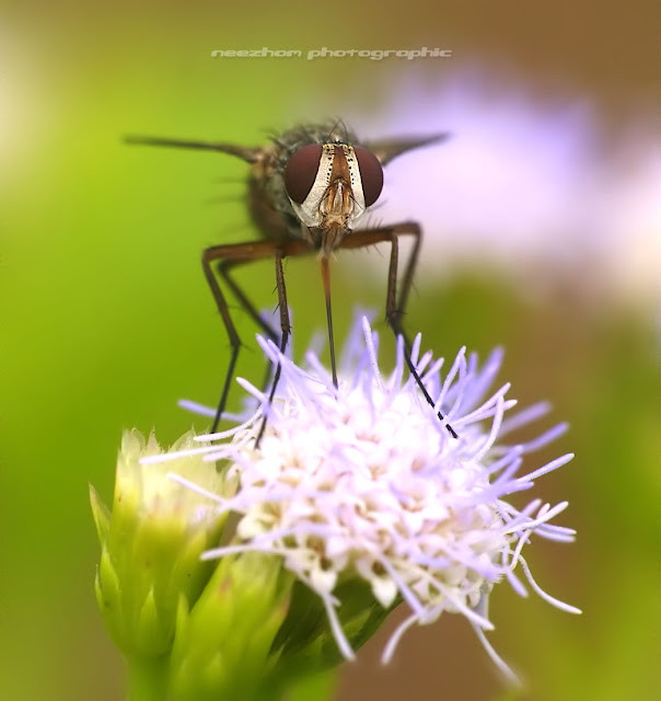 fly on a wild bright purple dandelion flower lalat bertenggek di