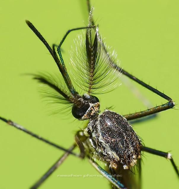 Bush Mosquito macro