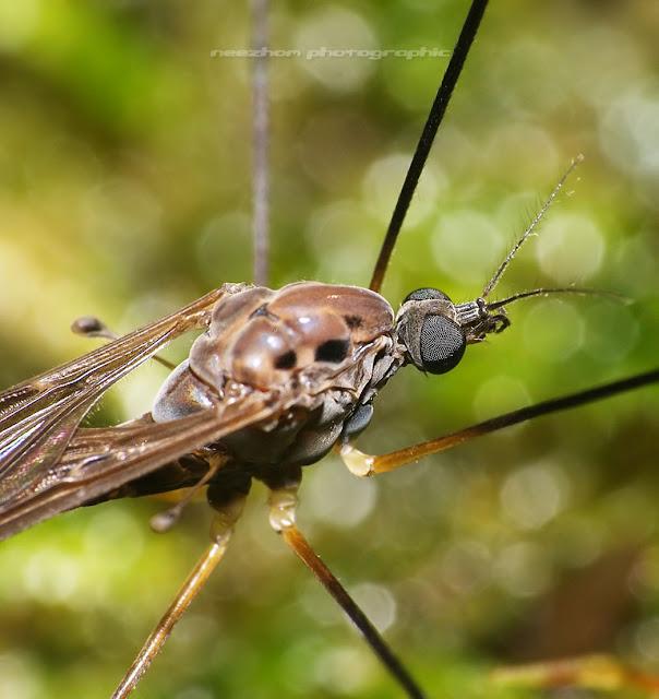 Giant mosquito macro
