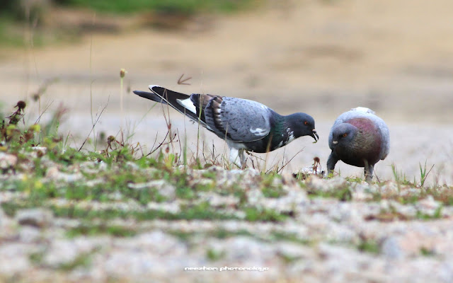 a couple of pigeons eat together