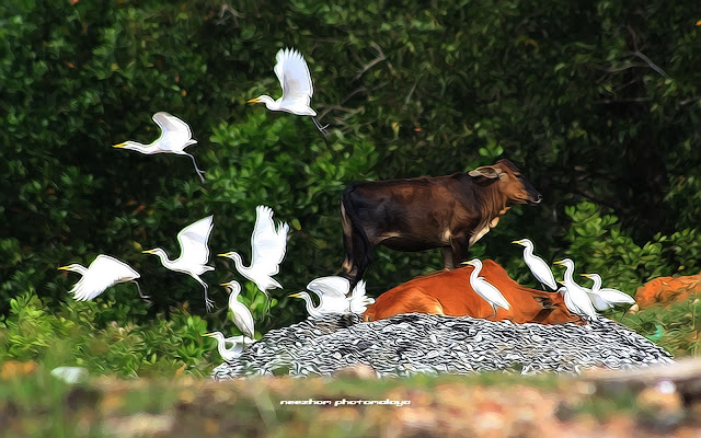 Little Egrets and two cows - Topaz clean 3.02