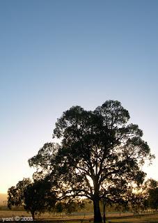 big dawn tree