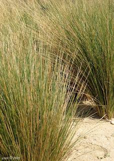 st kilda grass