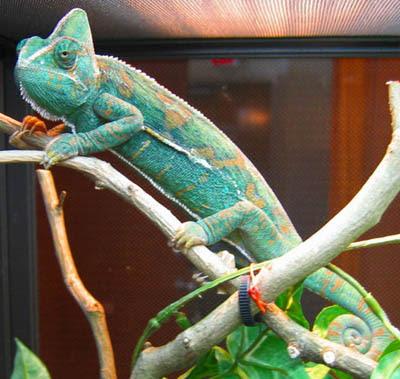 do veiled chameleon change colors