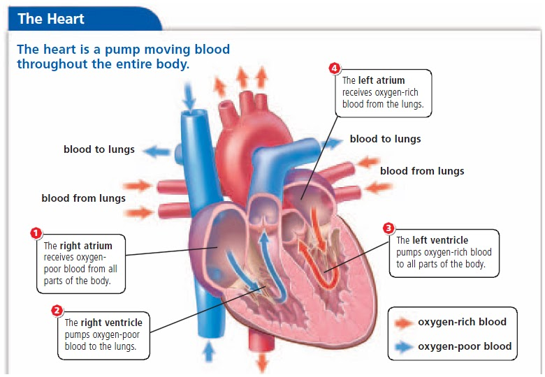 Heart circulation diagram quiz circuit connection diagram science 7a circulatory system heart quiz rh whsscience7a991 blogspot com heart diagram unlabeled blank heart diagram quiz ccuart Image collections