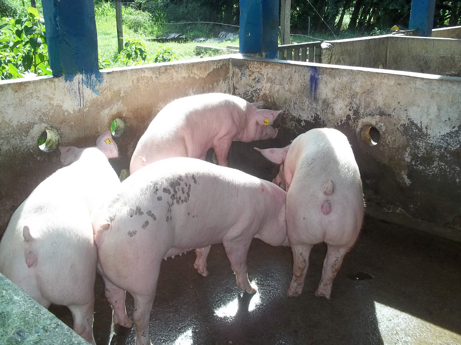 Fantástico Cerdo Fetal Anatomía Externa Friso - Anatomía de Las ...