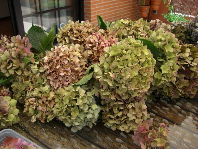 Malores secado de hortensias - Como secar hortensias ...