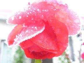 [froze.rose.web]