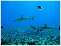 Friendly Black Tip Sharks
