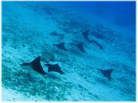 Eagle Rays, Bora Bora